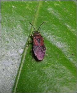 Arocatus melanocephalus